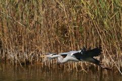 A Grey Heron in flight Stock Photos