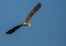 Grey Heron in flight Royalty Free Stock Image