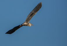Grey Heron in flight Royalty Free Stock Image