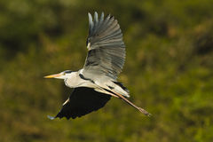 Grey heron in flight Royalty Free Stock Photography