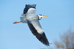 Grey heron in flight Royalty Free Stock Images
