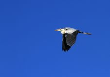 Grey heron in flight Stock Photo