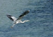 Grey Heron in flight Stock Photography