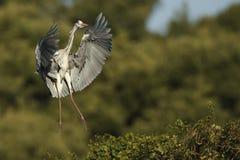Grey heron in flight Stock Image