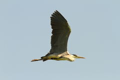 Grey heron in flight over sky background Stock Images