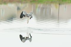 Grey Heron Royalty Free Stock Photography