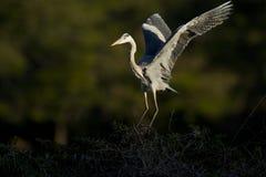 Grey heron in flight Royalty Free Stock Photos
