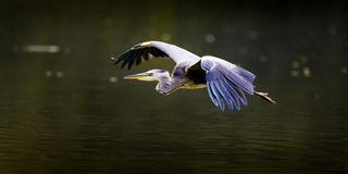 Grey Heron In Flight (vista lateral) Foto de Stock Royalty Free