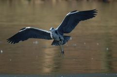 Grey-heron fly Stock Photo