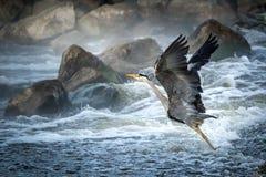 Grey Heron flyg över grovt vatten på floden avon royaltyfria bilder