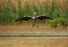 Grey Heron Flying photo stock
