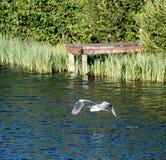 Grey Heron Flying stock fotografie