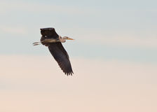 Grey Heron flying Royalty Free Stock Image