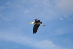 Grey Heron flying Royalty Free Stock Photo