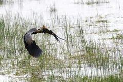 Grey Heron Flying Stock Foto's