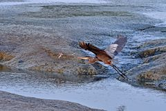 Grey Heron Flying Imagem de Stock