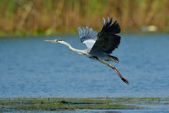 Grey heron flying (ardea cinerea) Stock Photography