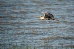Grey heron flying Stock Image