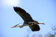 Grey Heron flying in France Stock Image