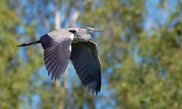 Grey heron in flight in front of leafy background royalty free stock image