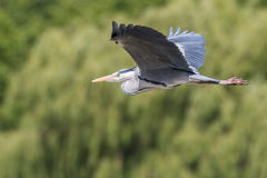 Grey heron. Flying over a lake with a green trees in the background Stock Photography