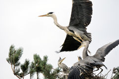Grey Heron flying over the nest with chicks Royalty Free Stock Image