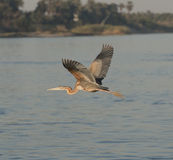 Grey heron flying over a river Royalty Free Stock Photography