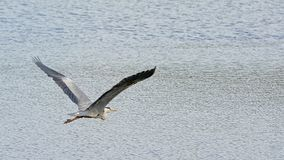 Grey heron in flight over the water - Ardea cinerea. Grey heron flying with spread wings  over the rippling water of a lake stock photos
