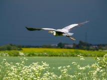 Grey heron flying, wings open Stock Photos