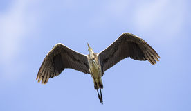 Grey Heron with Funny Looks royalty free stock images