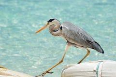 Grey Heron går nära havet Royaltyfria Foton
