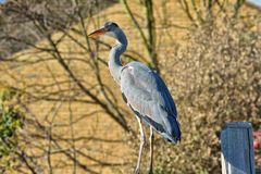 Grey Heron on garden fence royalty free stock photo