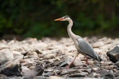 Grey Heron-Gehen Stockfotografie
