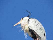 Grey Heron. Good to see that people are not the only one's who have a bad hair day Stock Image
