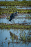 Grey heron on grassy bank in shallows Royalty Free Stock Photo