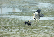 Grey Heron and Great Cormorant quarreling Stock Photo