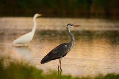 Grey Heron and Great white egret Royalty Free Stock Photo