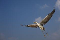 Grey Heron Ardea cinerea. Grey Heron Grey Heron Ardea cinerea in Ari Atoll - Maldives Stock Image