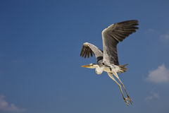 Grey Heron Ardea cinerea Royalty Free Stock Photography