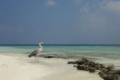 Grey Heron Ardea cinerea. Grey Heron Grey Heron Ardea cinerea in Ari Atoll - Maldives Stock Photography