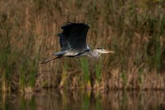 Grey heron flies over the water Stock Images