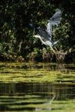 Grey Heron häger, cinerea Ardea Royaltyfri Bild