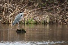 Grey Heron häger, cinerea Ardea Arkivfoton