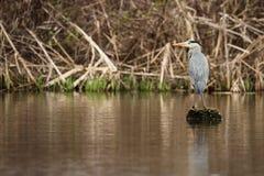 Grey Heron häger, cinerea Ardea Arkivbild