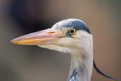 Grey Heron Head Close Up Cinerea Ardea Arkivbild