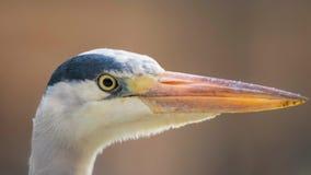 Grey Heron Head Close Up Cinerea Ardea Arkivfoto