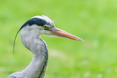 Grey heron head portrait Royalty Free Stock Image