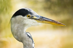 Grey heron head in side angle view Stock Image
