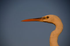 Grey heron head Royalty Free Stock Photo