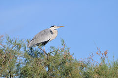 Grey heron on a high tamarisk branch Royalty Free Stock Photo